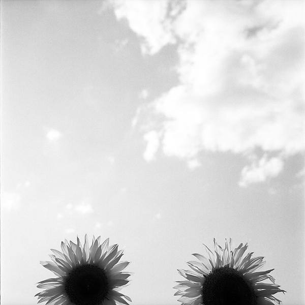 fotografia blanco y negro jose ferrero girasoles